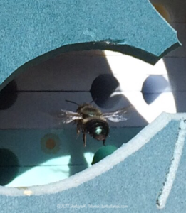 Mason bee entering house